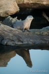 River Otter Reflection, False Klamath Cove