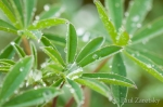 Raindrops on Lupine Leaves, Gold Bluffs Beach