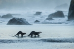 River Otters Heading for the Surf,  False Klamath Cove
