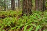 Sword Ferns and Redwoods, Prairie Creek Redwoods State Park