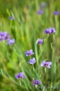 Blue-eyed Grass, Star Creek Ranch, Watsonville, CA