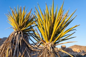 Yuccas, Joshua Tree National Park, CA