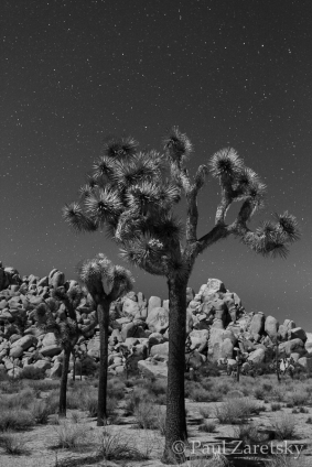 Joshua Trees at Night, Joshua Tree National Park, CA