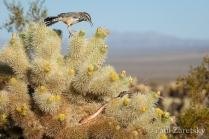 Cactus Wren Defending Nest, Joshua Tree National Park, CA