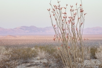 Ocotillo and Desert Valley, Joshua Tree National Park, CA