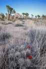 Desert Garden, Joshua Tree National Park, CA